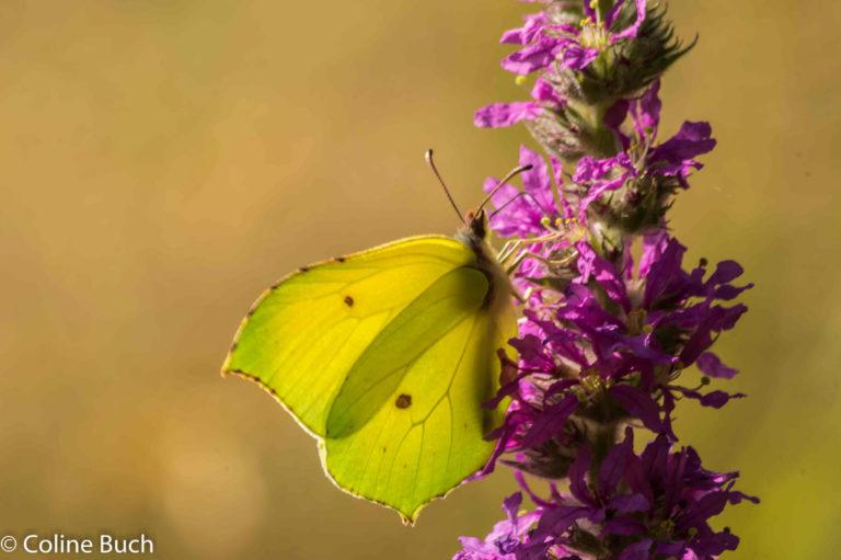 Le Papillon Citron